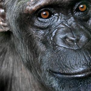 chimpance.jpg
