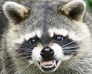 Ojo con los mapaches 1