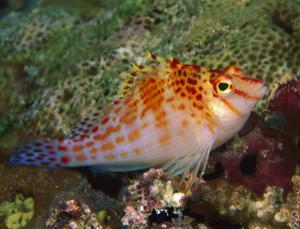 Un pez transexual 1